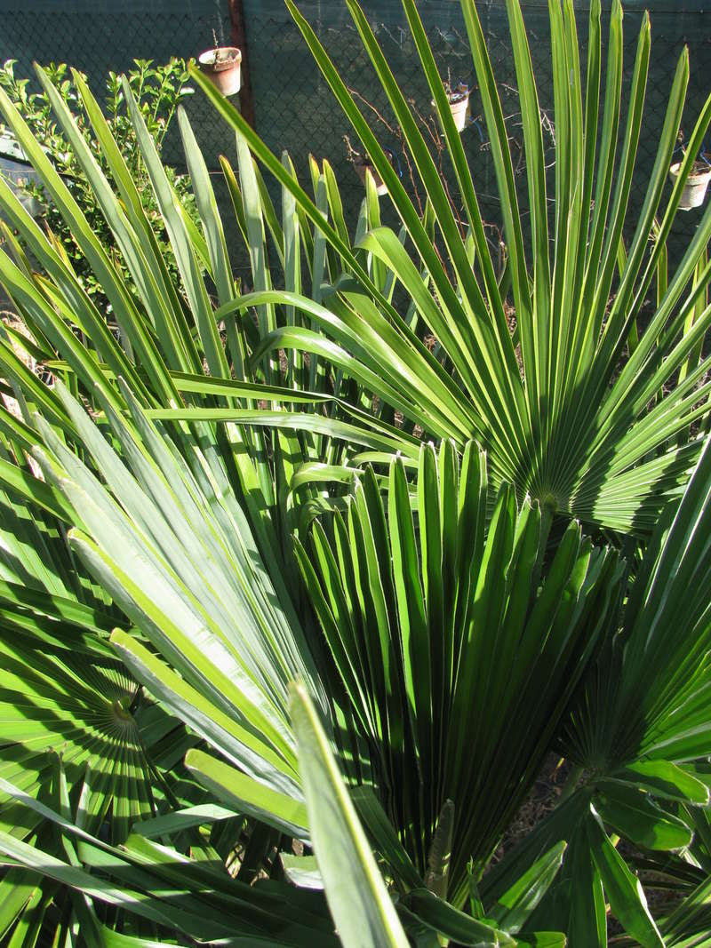 Trachycarpus fortunei, část 2 - Stránka 3 Img_0414