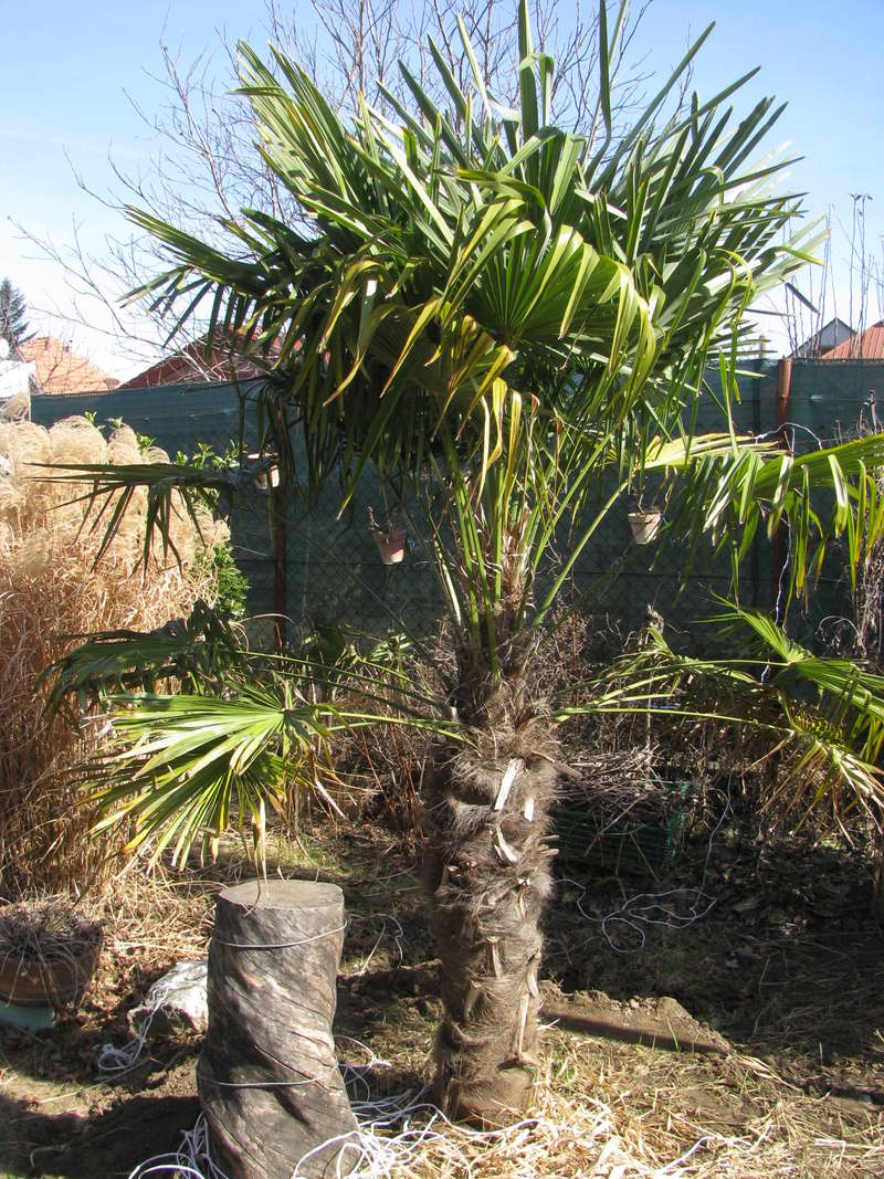 Trachycarpus fortunei, část 2 - Stránka 3 Img_0415