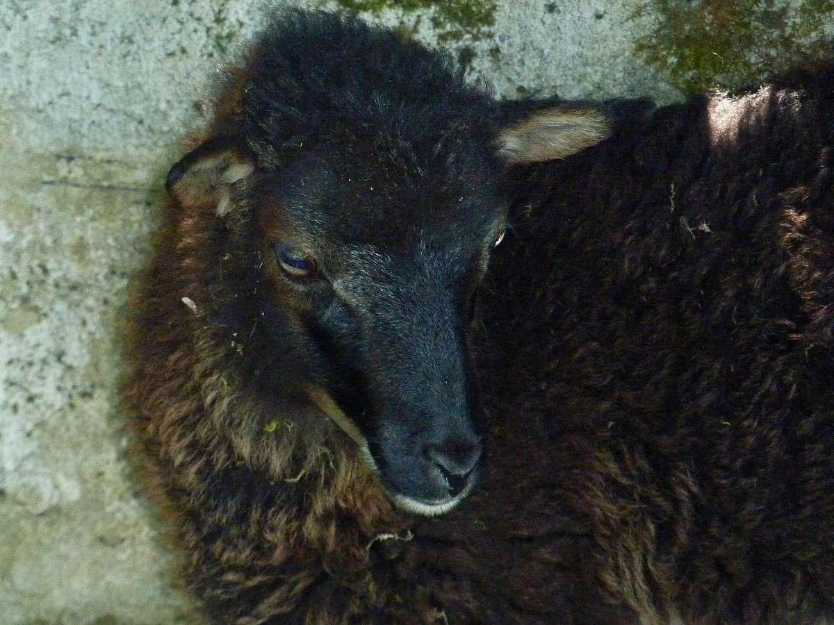 Dans ma prairie en 2017. moutons d'Ouessant. et beaux couchers de soleil. 511