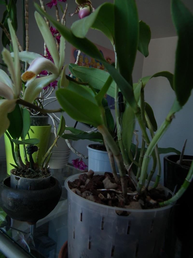 Cattleya forbesii Dscf6818