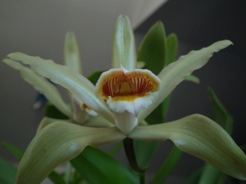 Cattleya forbesii Dscf6819