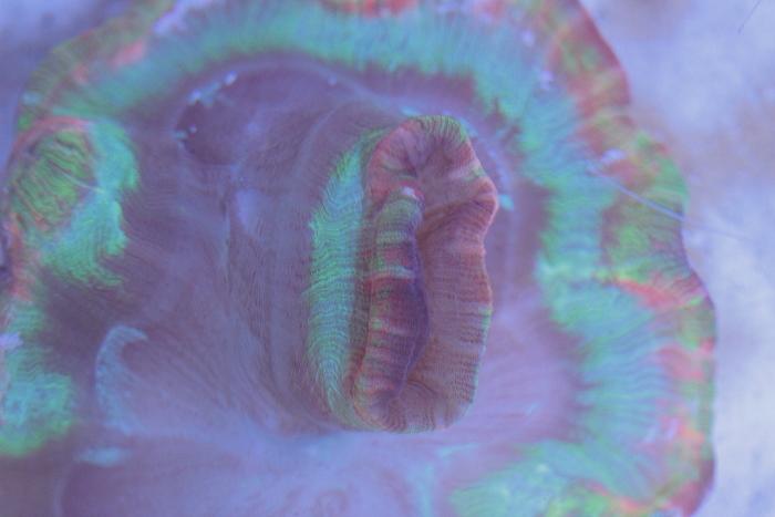 Shallow reef de Moka (504L) Welso_10
