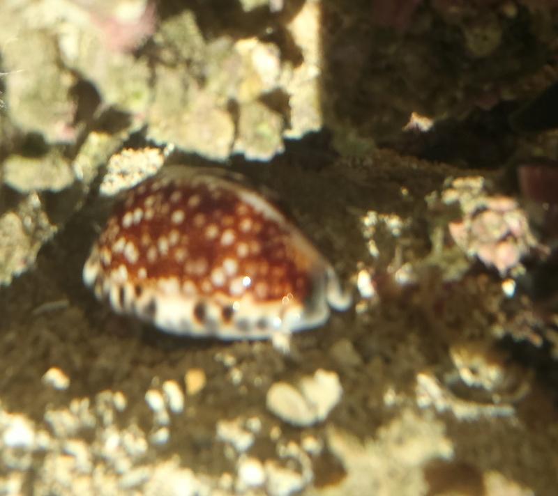 Cypraea de Nouvelle Calédonie - Live P8040011