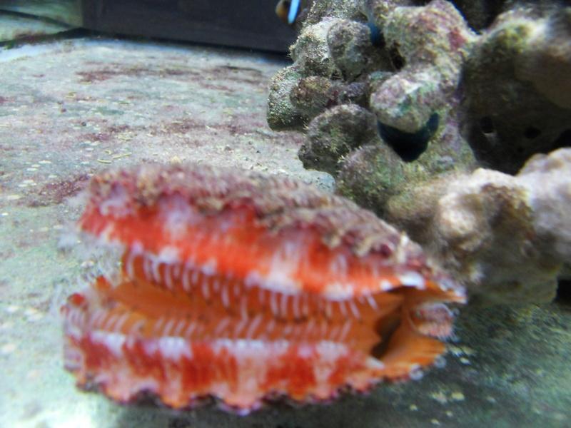 Cypraea de Nouvelle Calédonie - Live Sdc10010