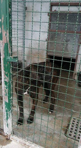 KAWAI magnifique chienne Cane Corso - BULGARIE 17203010