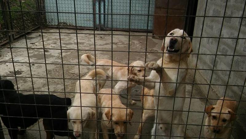 JANGO un des 6 labradors en fourriere - SERBIE 17309610
