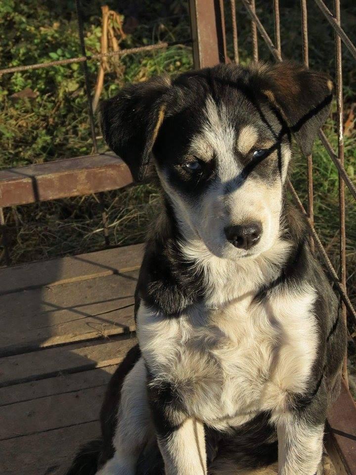 YOKO splendidie bébé husky - BULGARIE  17321210