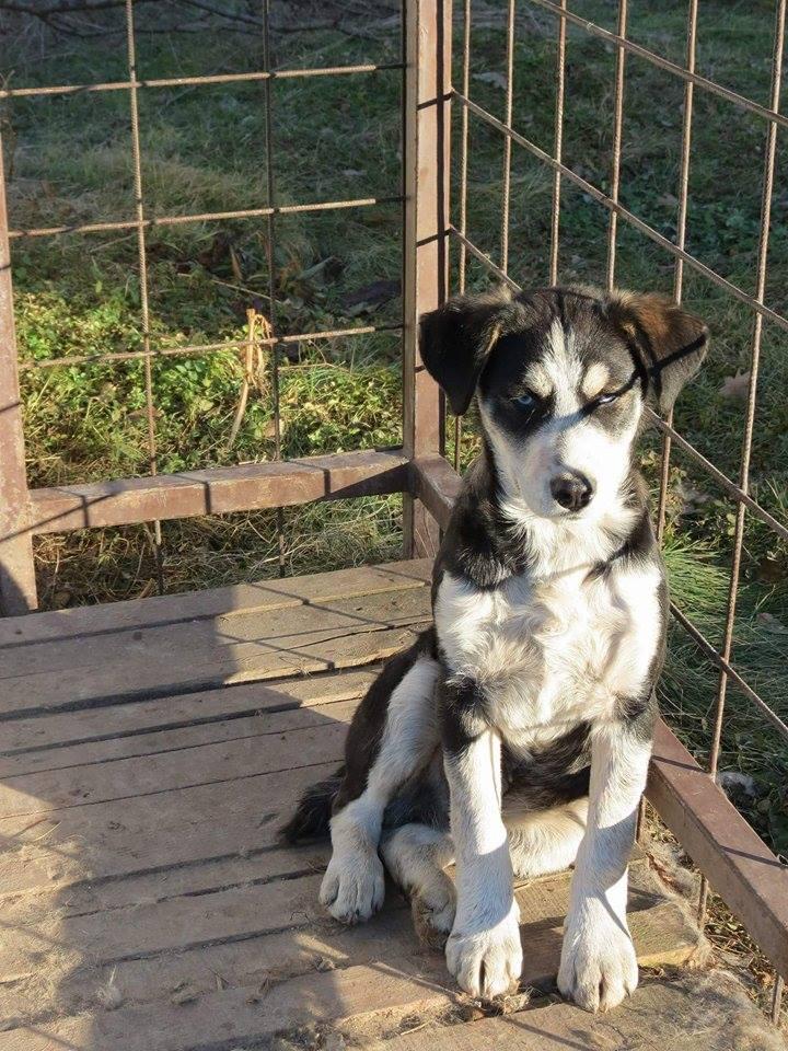 YOKO splendidie bébé husky - BULGARIE  17321510