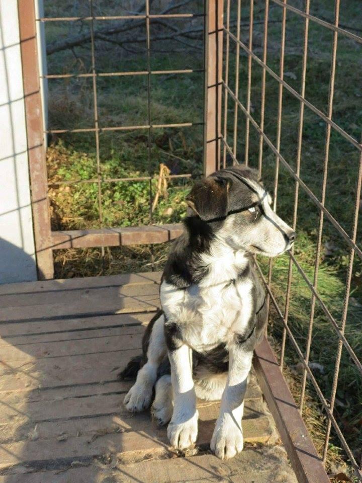 YOKO splendidie bébé husky - BULGARIE  17327910