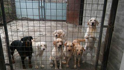 JANGO un des 6 labradors en fourriere - SERBIE 17342610