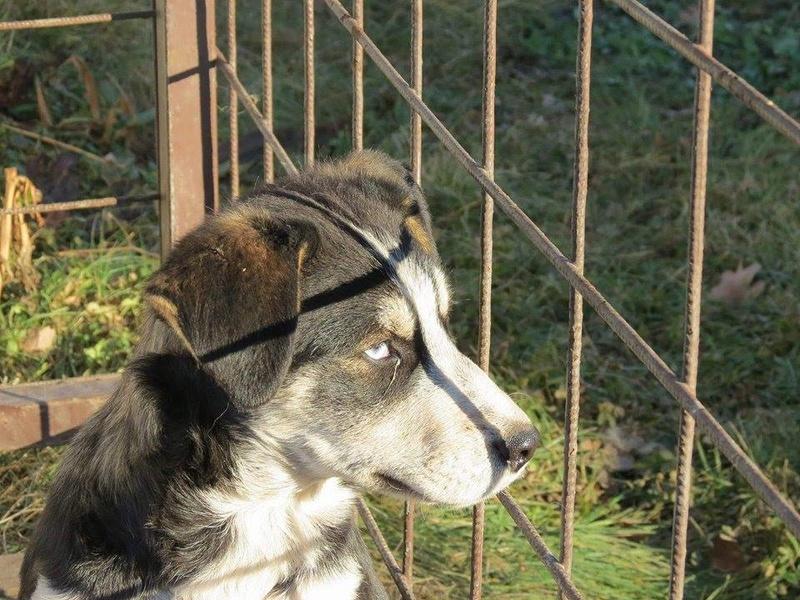 YOKO splendidie bébé husky - BULGARIE  17354710