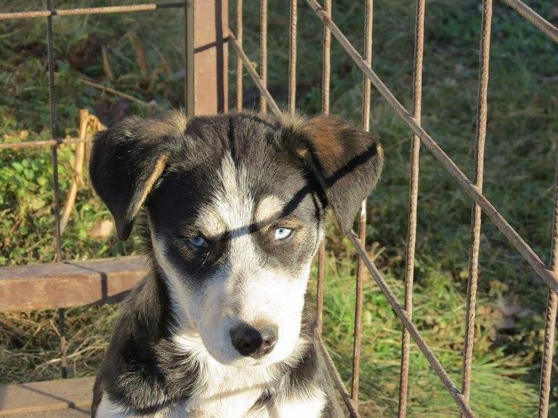 YOKO splendidie bébé husky - BULGARIE  17354810