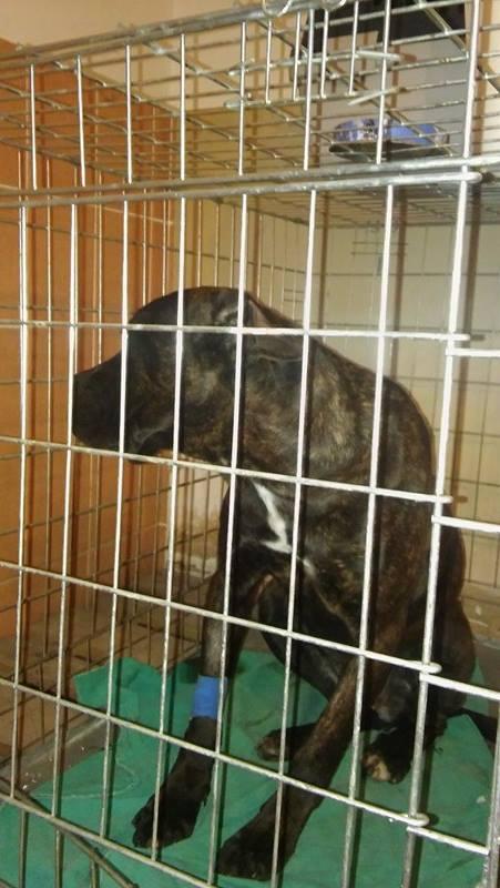 KAWAI magnifique chienne Cane Corso - BULGARIE 17360512