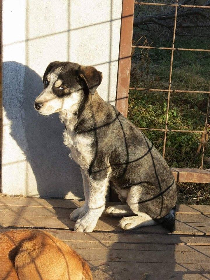 YOKO splendidie bébé husky - BULGARIE  17360710