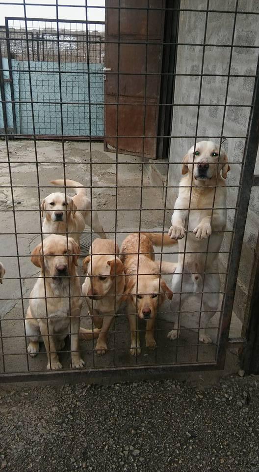 JANGO un des 6 labradors en fourriere - SERBIE 17362410
