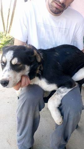 YOKO splendidie bébé husky - BULGARIE  17409910