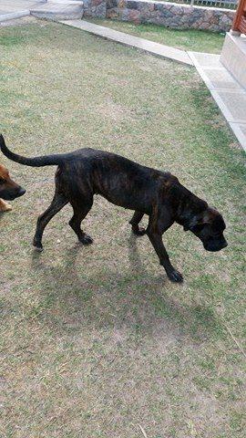 KAWAI magnifique chienne Cane Corso - BULGARIE 17467810
