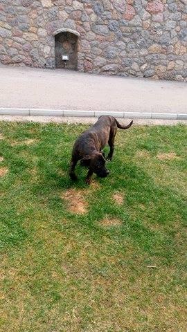 KAWAI magnifique chienne Cane Corso - BULGARIE 17496210
