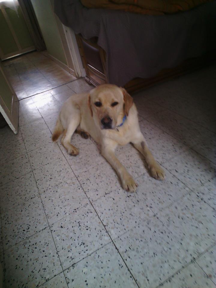 JANGO un des 6 labradors en fourriere - SERBIE 19022011