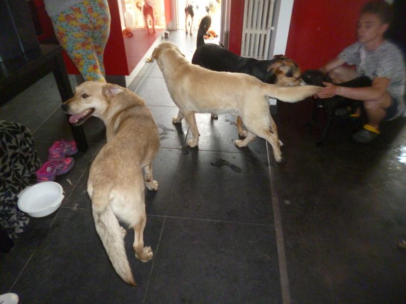 JANGO un des 6 labradors en fourriere - SERBIE P1150016