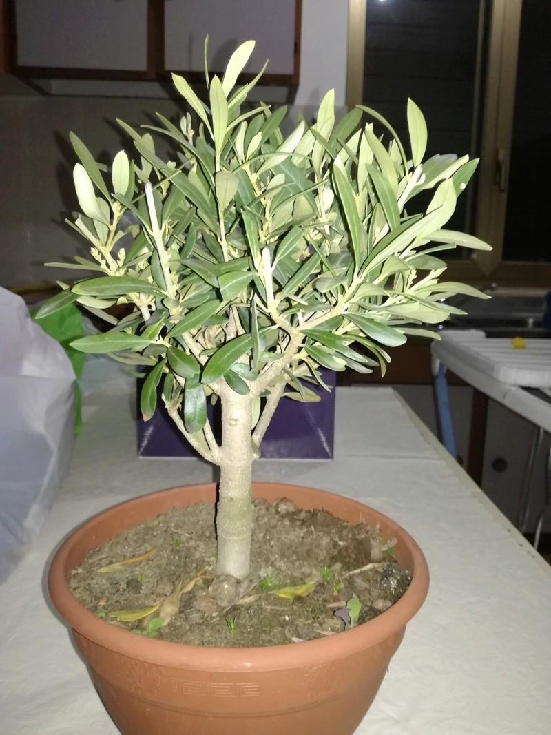 "primo ""bonsai"" di ulivo Img_2012"