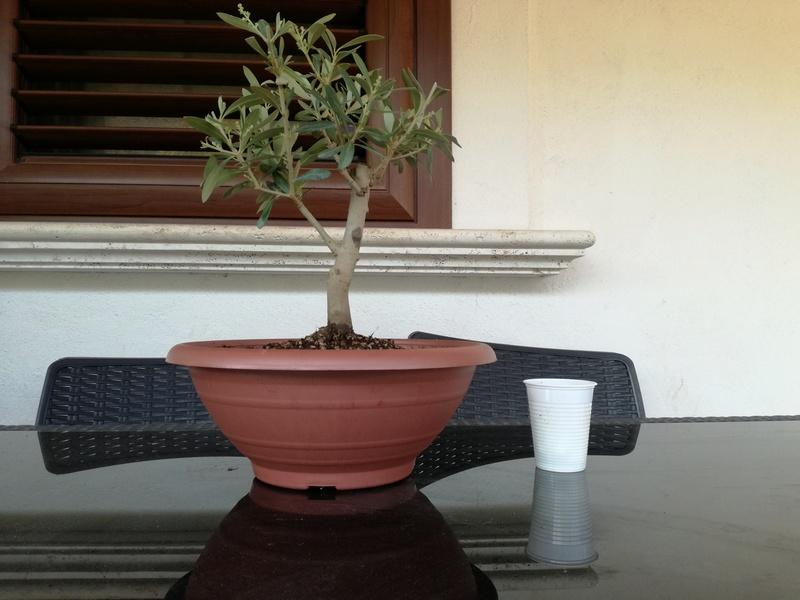 "primo ""bonsai"" di ulivo - Pagina 3 Img_2022"