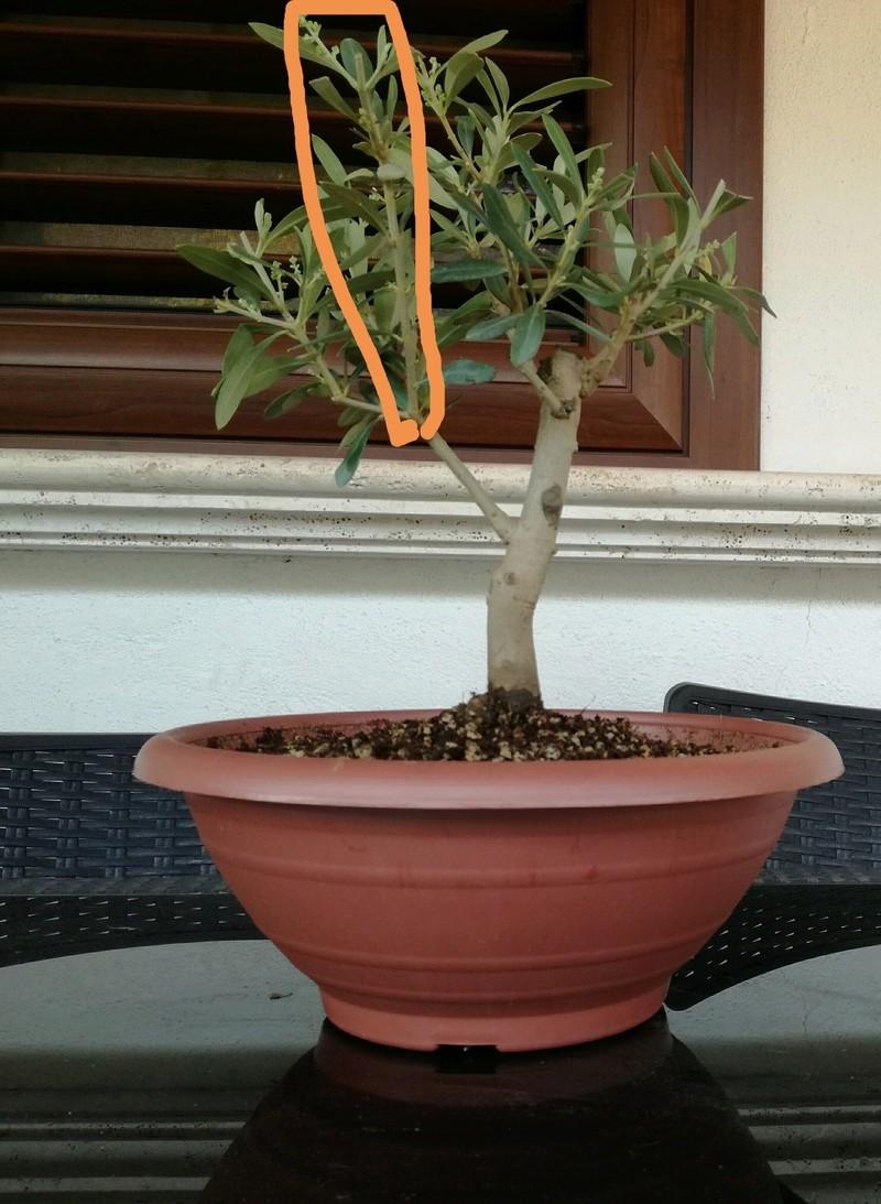 "primo ""bonsai"" di ulivo - Pagina 3 Img_2023"