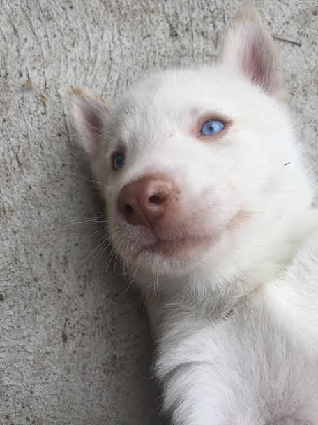 Pink around pup's eye Sh10