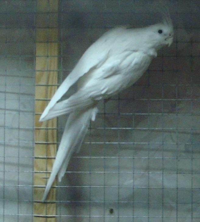 Продам пару попугаев. Белые безщёкие Кареллы Dsc03010