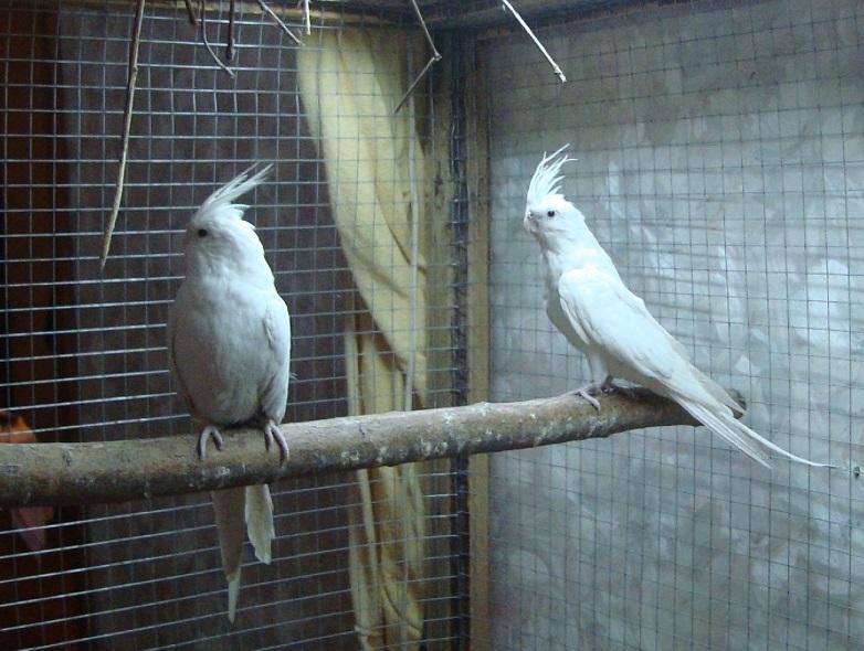 Продам пару попугаев. Белые безщёкие Кареллы Dsc03011