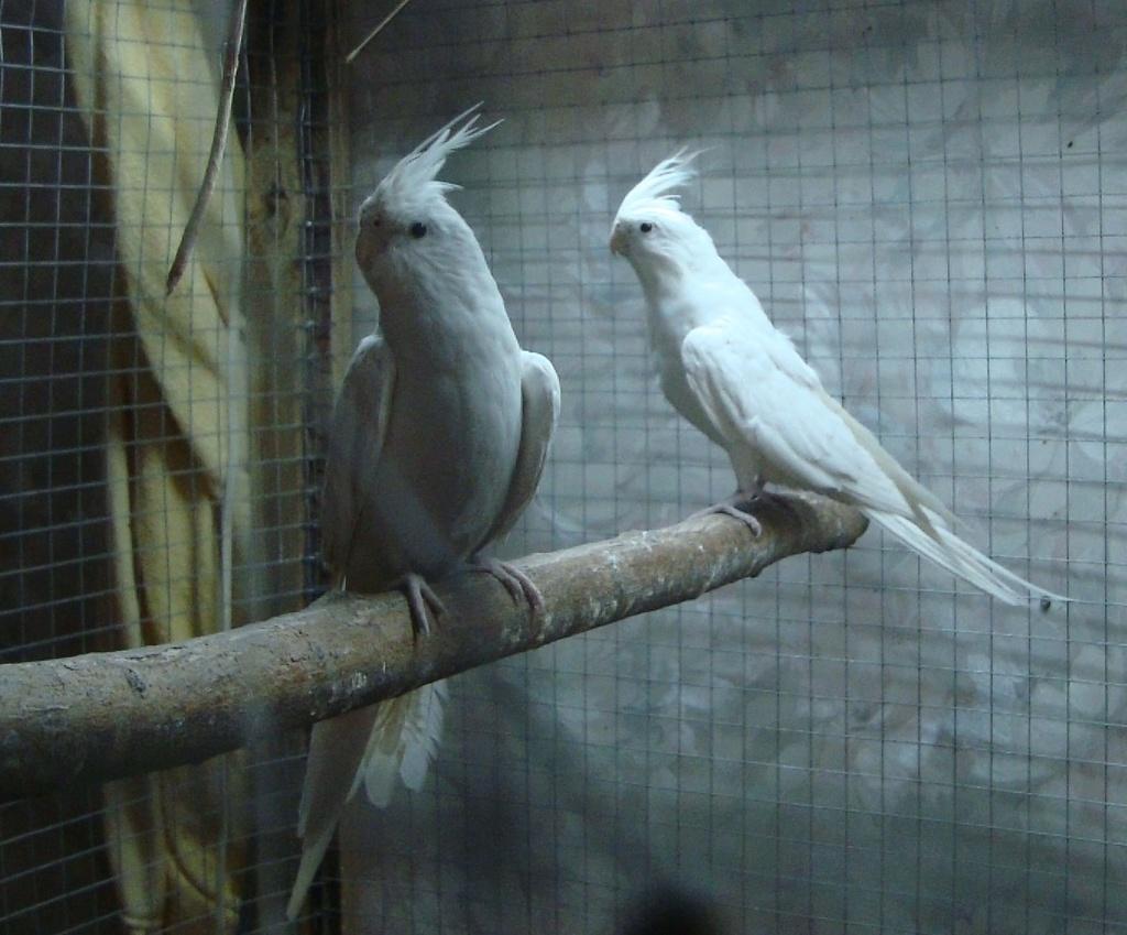 Продам пару попугаев. Белые безщёкие Кареллы Dsc03012
