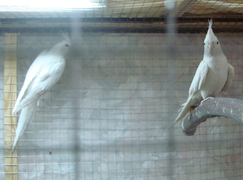 Продам пару попугаев. Белые безщёкие Кареллы Dsc03013