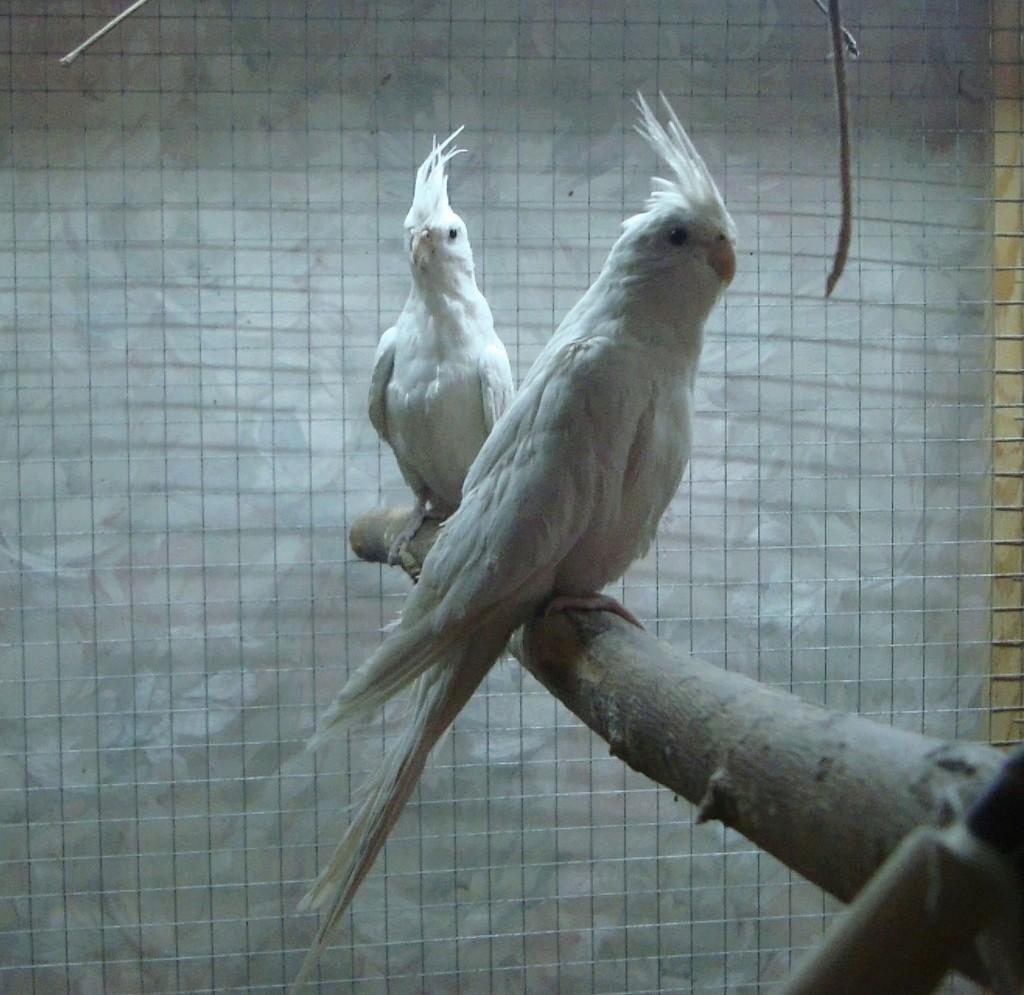 Продам пару попугаев. Белые безщёкие Кареллы Dsc03014