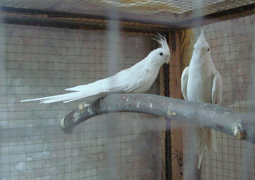 Продам пару попугаев. Белые безщёкие Кареллы Dsc03015