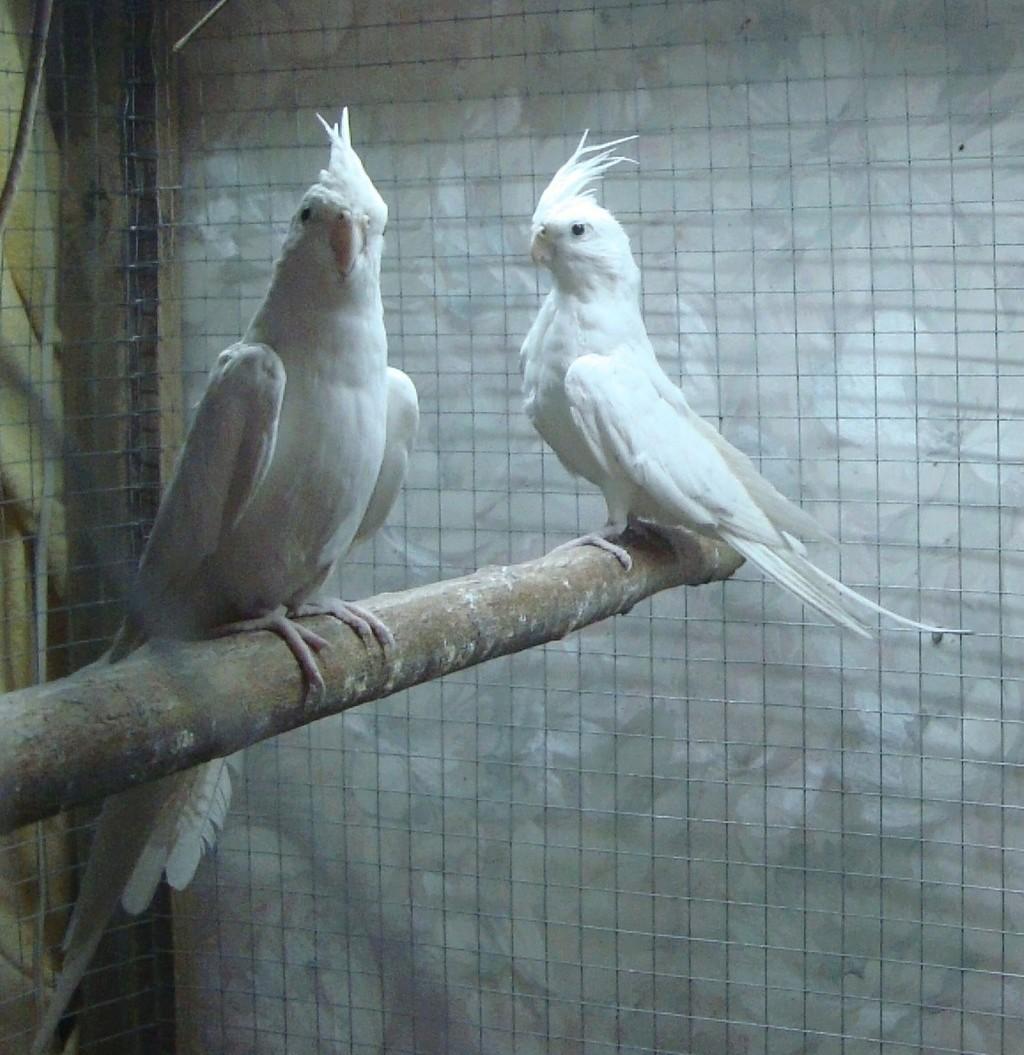Продам пару попугаев. Белые безщёкие Кареллы Dsc03016
