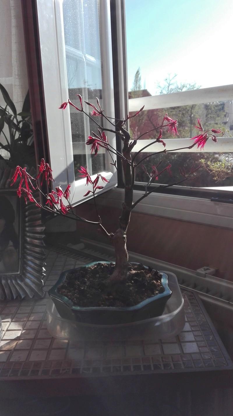 arce palmatum. hojas mustias? AYUDA! Img_2011