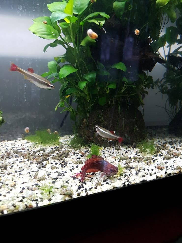 Combattant devenu inactif (au fond de l'aquarium) Valent12