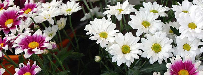 احلى صور الورود البيضاء 2018 224