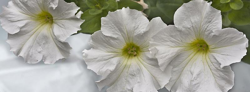 احلى صور الورود البيضاء 2018 721
