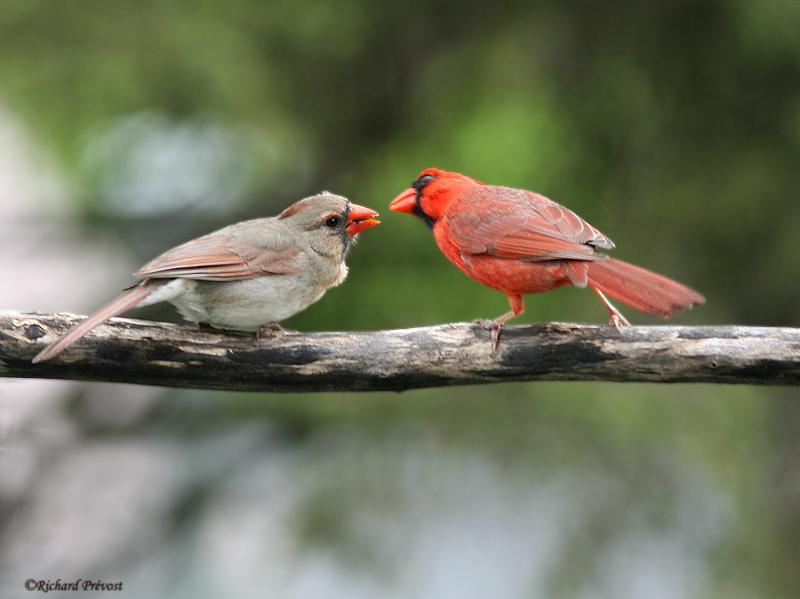 Le printemps du Cardinal Cardin21