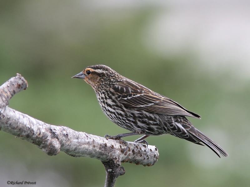 Les oiseaux noirs Caroug11