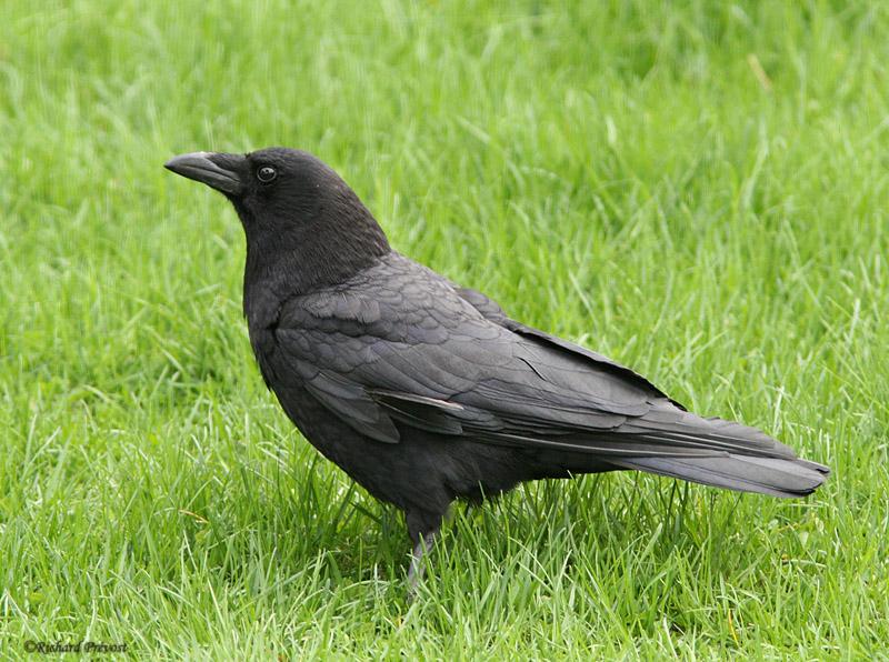 Les oiseaux noirs Cornei10