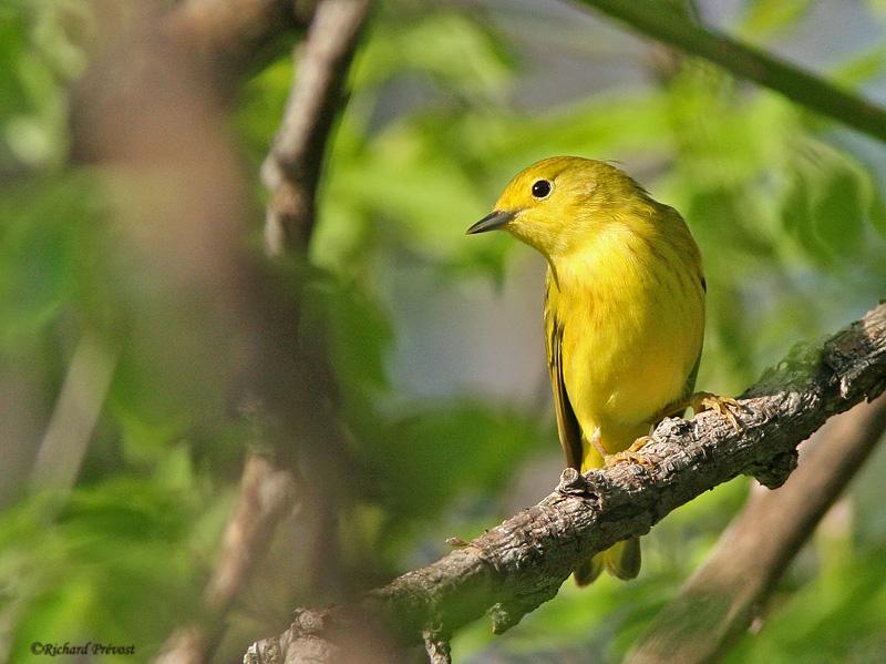 Paruline jaune Paruli10