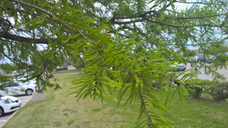 Is this Bald Cypress (Taxodium distichum) Wp_20135