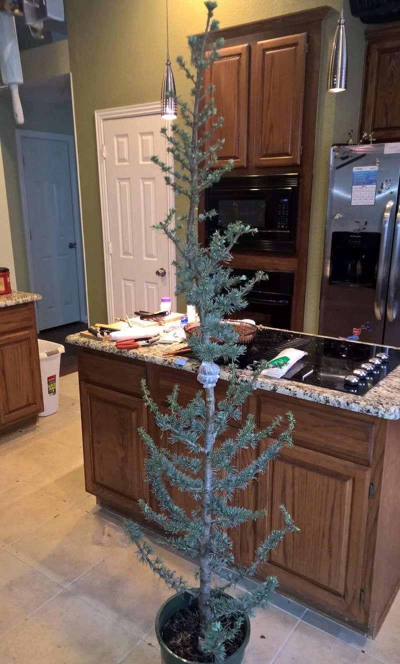 Blue Atlas Cedar (Cedrus atlantica 'glauca') Progression Wp_20148