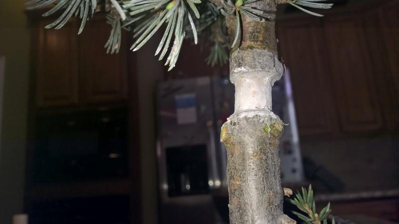 Blue Atlas Cedar (Cedrus atlantica 'glauca') Progression Wp_20150
