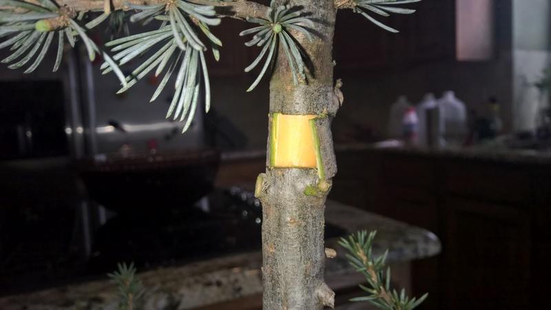 Blue Atlas Cedar (Cedrus atlantica 'glauca') Progression Wp_20151