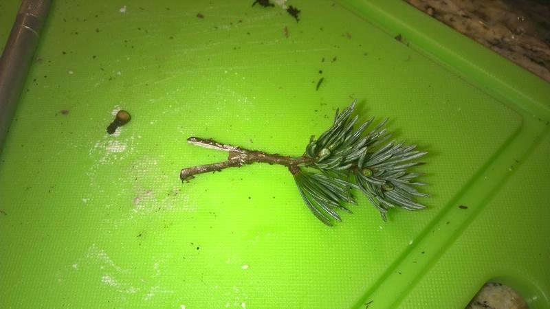 Blue Atlas Cedar (Cedrus atlantica 'glauca') Progression Wp_20155