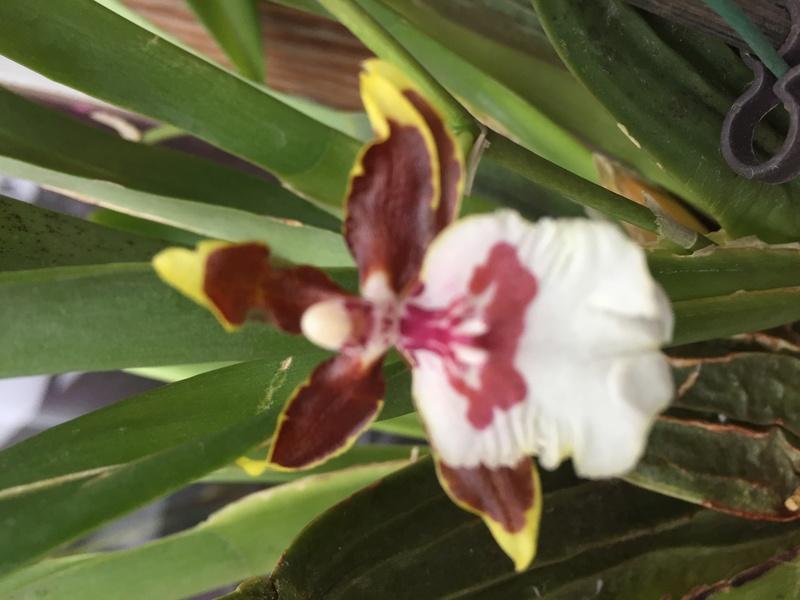 Welche Orchidee ist das ? Img_3418