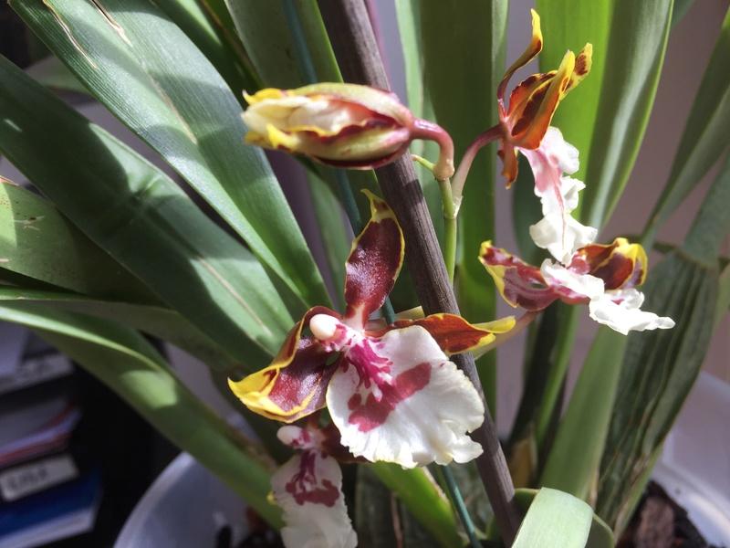 Welche Orchidee ist das ? Img_3421